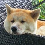 顔が秋田犬のアイドルの正体と中の人は誰?秋田県北部のPR動画がウケる!